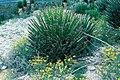 Yucca decipiens fh 0373 MEX B.jpg