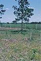 Yucca filamentosa subsp. smalliana fh 1182.12 FL B.jpg