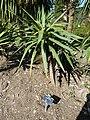Yucca recurvifolia (Agavaceae).JPG