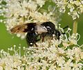 Zaraea fasciata (Honeysuckle sawfly) - Flickr - S. Rae.jpg