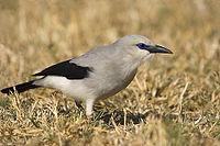Zavattariornis stresemanni -Yabello Wildlife Sanctuary, Ethiopia-8.jpg