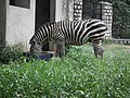 Zebra from Bannerghatta National Park 8641.JPG