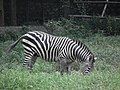 Zebra from Bannerghatta National Park 8699.JPG