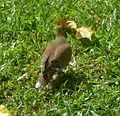 Zenaida Dove. Zenaida aurita - Flickr - gailhampshire (1).jpg
