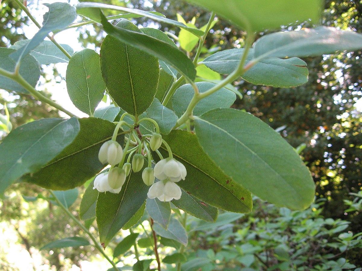 Zenobia (plant) - Simple English Wikipedia, the free ...