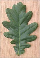 Zomereik blad Quercus robur.jpg