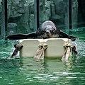 Zoo praha enrichment lachtan jihoafrický 1.jpg