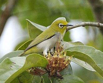 Indian white-eye - Image: Zosterops palpebrosus Singapore 8