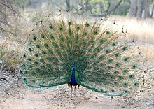 (12) Peacock at Ranthambhore India May 2013.jpg
