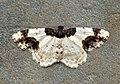 (1888) Scorched Carpet (Ligdia adustata) (7167720260).jpg