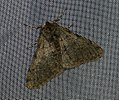(1926) Pale Brindled Beauty (Phigalia pilosaria) (4310018405).jpg