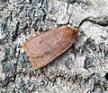 (2258) The Chestnut (Conistra vaccinii) - Flickr - Bennyboymothman.jpg