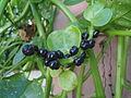 (Basella alba) Malabar spinach fruit at Bandlaguda 01.JPG
