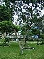 Árbol de Aucamolle en el Jardín Botánico de Lima.jpg