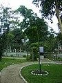 Árbol de Copaiba en el Jardín Botánico de Lima.jpg