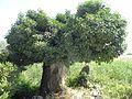 Τhe petrified tree at the Greek Prespa Lake coast B.jpg