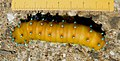 Большой ночной павлиний глаз - Saturnia pyri - Giant Peacock Moth - Голямо нощно пауново око - Wiener Nachtpfauenauge (35124502653).jpg