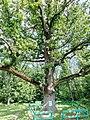 Велетень дуб.jpg