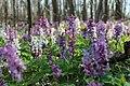 Весняний ліс, ряст цвіте.jpg