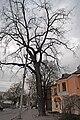 Горіх чорний на вулиці Пилипчука в Хмельницькому DSC 0309.jpg