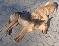 Двое беспородных собак лежат на асфальте.jpg