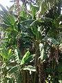 Дерево бананов.jpg
