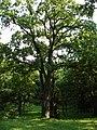 """Дерево в парку санаторію """"Карпати"""".jpg"""