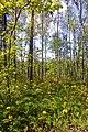 Змішаний ліс із рододендроновим підліском.jpg
