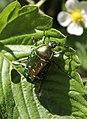 Золотистая бронзовка (Cetonia aurata).jpg