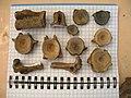 Кости сома из неолитического поселения в процессе изучения археозоологом Е.Ю.Яниш.jpg