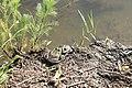 Лягушки на берегу пруда.jpg
