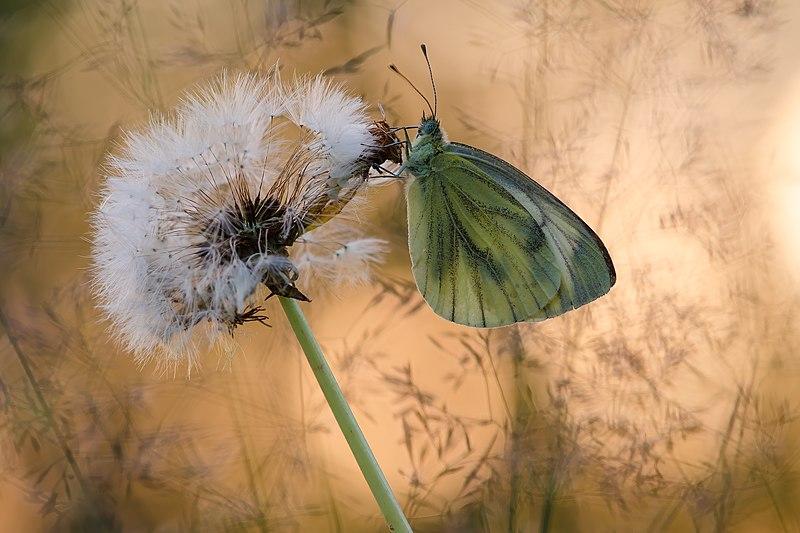 File:Метелик на кульбабі.jpg