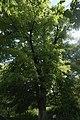 Одеса Липа Лемме (ботанічна пам'ятка природи).jpg