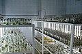 Стелажі із клонованими рослинами.jpg