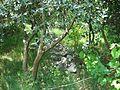 Фехоа и камни в саду - panoramio.jpg