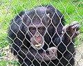 Шимпанзо - Зоо Скопје (1).jpg
