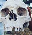 جمجمة تمّ العثور عليها في المقبرة البونيّة.jpg