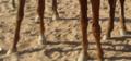 ساقا حصان 4.PNG