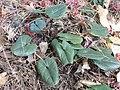 タマノカンアオイ(多摩の寒葵)(Asarum tamaense) (6959520132).jpg
