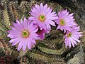 仙人掌-極花殿 Echinocereus pentalophus hybrid -日本大阪鮮花競放館 Osaka Sakuya Konohana Kan, Japan- (40360118410).jpg