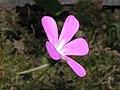 墨蘭捕蟲堇 Pinguicula moranensis -香港動植物公園 Hong Kong Botanical Garden- (9200913128).jpg