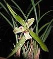春蘭蕊蝶 Cymbidium goeringii 'Inner Butterfly' -香港沙田國蘭展 Shatin Orchid Show, Hong Kong- (12317106704).jpg