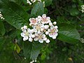 梅葉山楂 Crataegus persimilis 'Prunifolia' -挪威 Lillehammer, Norway- (36200943196).jpg