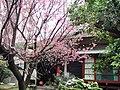 櫻花與日本式房舍在臺灣桃園中壢 Cherry blossom - Sakura and Japanese House in Taoyuan, TAIWAN.jpg