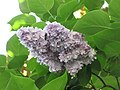 歐洲丁香-重瓣 Syringa vulgaris -德國 Rhine Valley, Germany- (9198129857).jpg