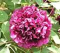 牡丹-新魏紫 Paeonia suffruticosa 'New Wei Purple' -洛陽國家牡丹園 Luoyang, China- (12452662824).jpg