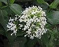 白花紅纈草 Centranthus ruber 'Albus' -哥本哈根大學植物園 Copenhagen University Botanical Garden- (36979369071).jpg
