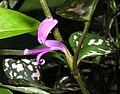 白點嫣紅蔓 Hypoestes phyllostachya -香港動植物公園 Hong Kong Botanical Garden- (9198150393).jpg