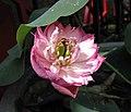 粉娃蓮 Nelumbo nucifera 'Pink Baby' -深圳洪湖公園 Shenzhen Honghu Park, China- (12359942205).jpg