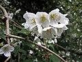 紫萼山梅花 Philadelphus purpurascens -哥本哈根大學植物園 Copenhagen University Botanical Garden- (36724153720).jpg